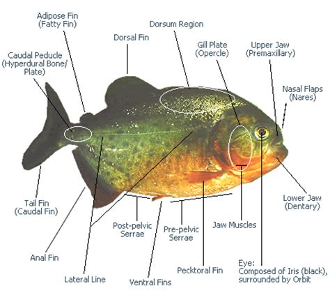 Pompa Aquarium Recent Aa 1600 piranha fish amazing piranha facts images information