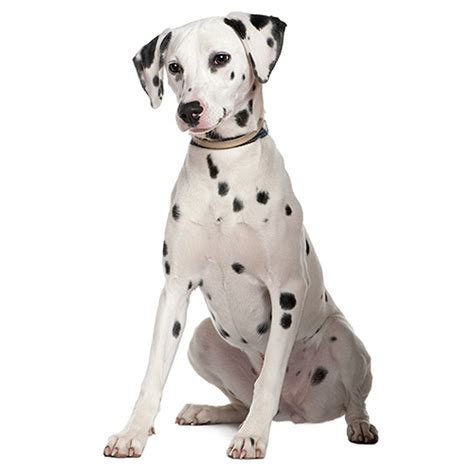 Dalmatian Shedding by Dalmatian See Description And Pictures Of This Breed Dogsuniverse Co Uk