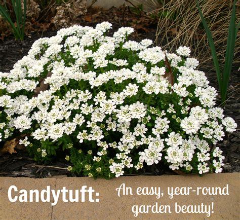 all year flowering shrubs candytuft an easy year garden