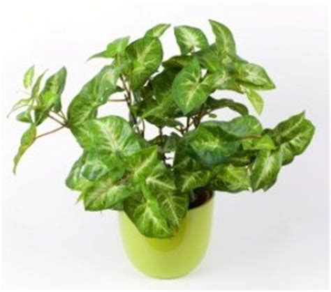 common house plant with shaped leaves arrowhead plant syngonium podophyllum pictures care tips