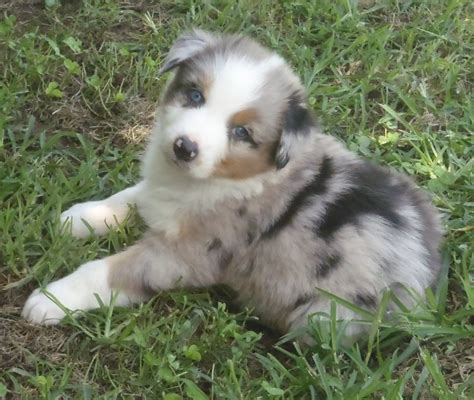 puppies oklahoma miniature australian shepherd puppies picture oklahoma