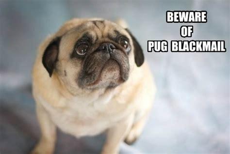 Pug Memes - 25 hilarious pug memes babble