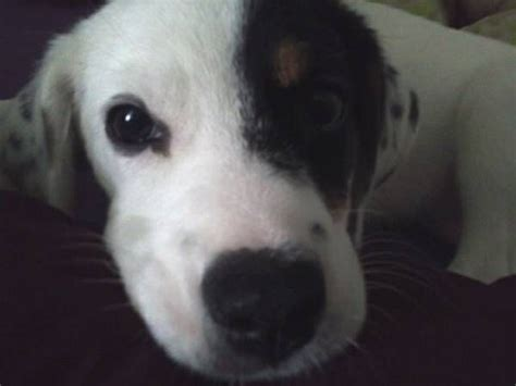 puppies for adoption nyc beagle mix puppy for adoption in northern ny http watertown craigslist org pet