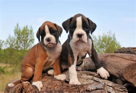 puppy slideshow boxer puppy all puppies pictures and wallpapers breeds picture