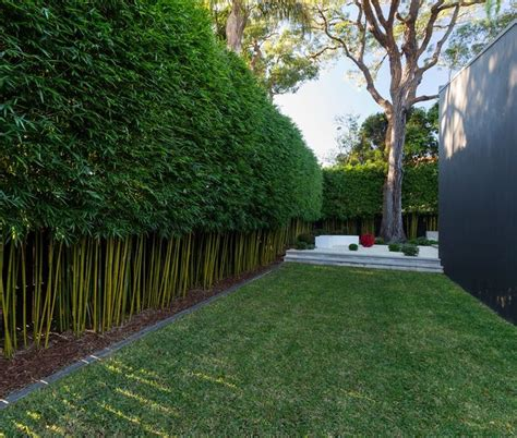bamboo in backyard growing bamboo in container bamboo hedge backyard and