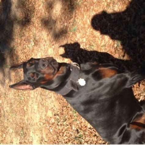 doberman puppies for sale in sc doberman pinscher breeders in south carolina freedoglistings