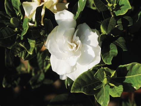 gardenia buds  turning black ehow