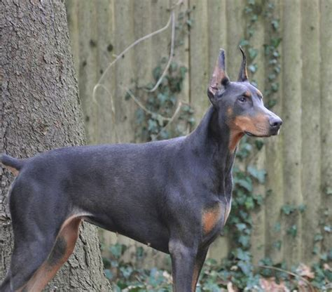 blue doberman pinscher puppies for sale blue dobermans and puppies for sale with links to owners