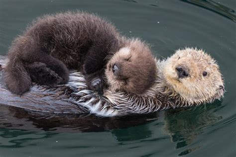 animal baby otters breeds picture