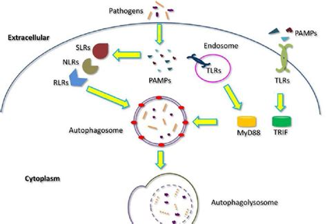 pattern recognition receptors and autophagy autophagy in innate immunity during infection pathogen
