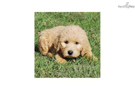 Labradoodle Non Shedding by Labradoodle Puppy For Sale Near West Palm Florida