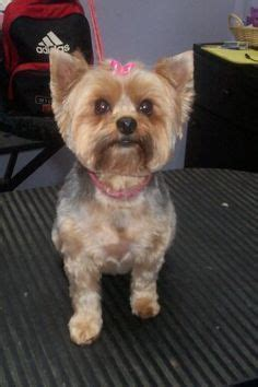 can you cut silky terrier hair short 18 best yorkies are the best images on pinterest