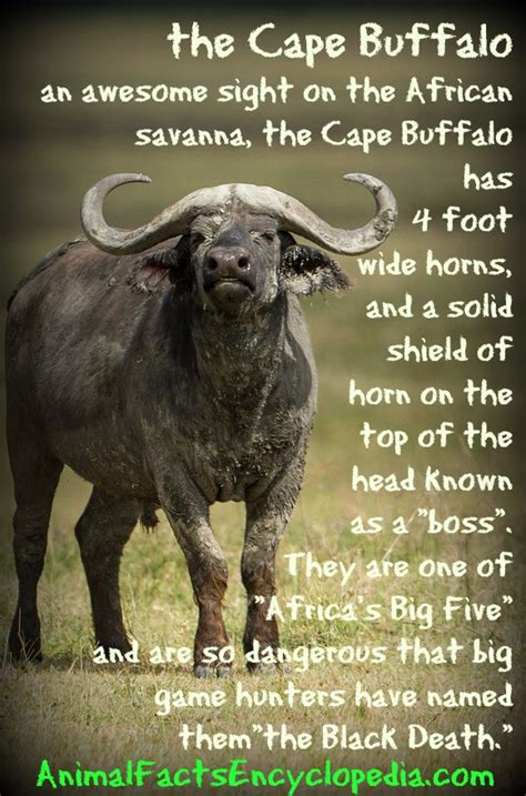cape buffalo facts animal facts encyclopedia