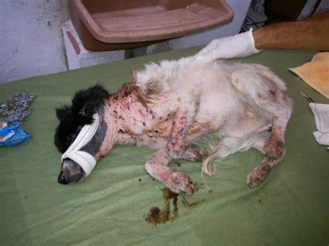 casa infestata da pulci questa cagnolina 232 ricoperta di bruciature e parassiti