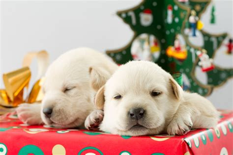 getting puppies getting a puppy for the worst gift idea
