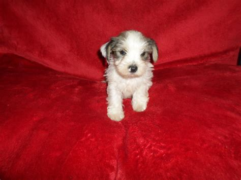 westie yorkie yorkie cross westie puppies only 1 left tipton west midlands pets4homes