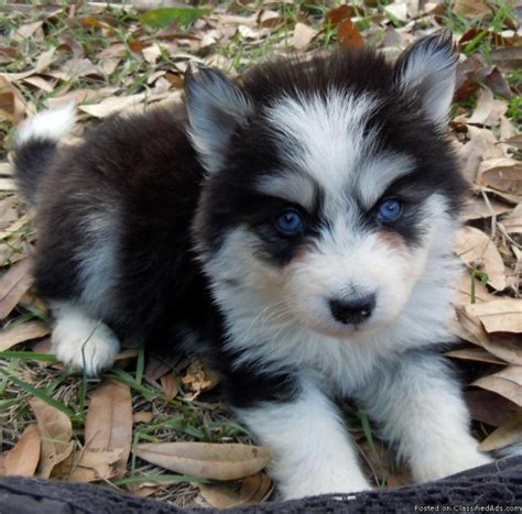 real puppies for sale palm husky breeds picture