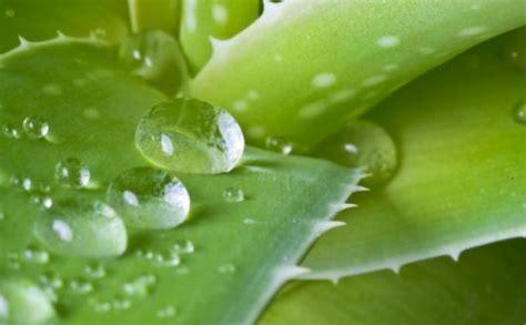 Obat Asam Lambung Lidah Buaya khasiat herbal tips mengobati gerd dengan lidah buaya