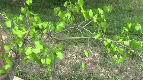 when to cut back a grapevine pruning 1 and 2 new grapevines