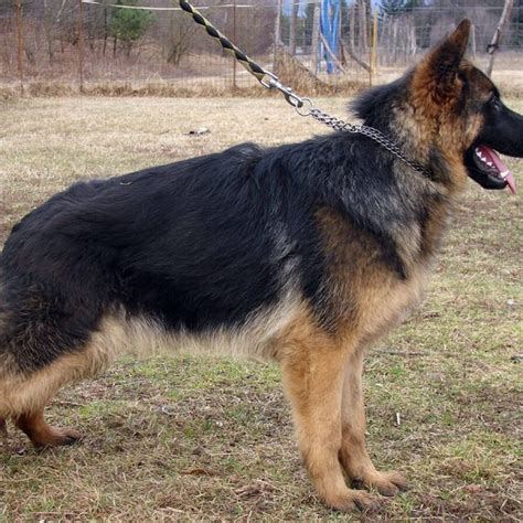 what to look for when buying a puppy what to look for when buying a german shepherd puppy autos post