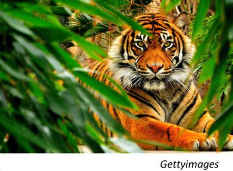 imagenes de tigres de bengala pin tigre del bengala 1920x1080 scrivania sfondi per