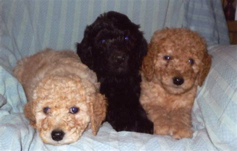 labradoodles puppies for sale scotland stunning labradoodle puppies dundee area for sale adoption