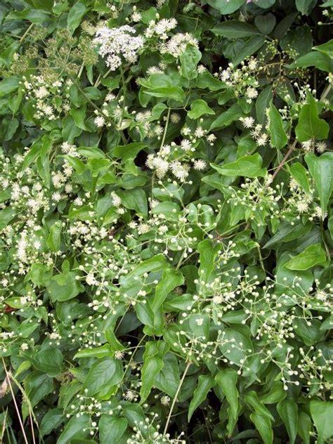 woody climbing plant traveller s s beard clematis vitalba nen