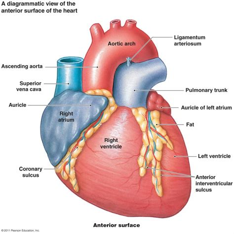the heart is a right atrium of the heart 3d images anatomy of the right auricle the cardiovascular system heart