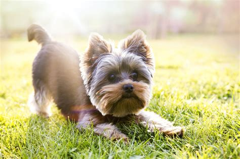 corte pelo yorkshire terrier silky terrier vs yorkshire terrier analyzing the differences