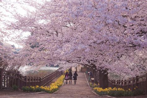 imagenes cerezo japones arboles de cerezo en japon imagui