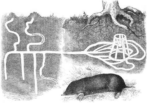 piege a taupe 451 file maulwurf bau drawing jpg wikimedia commons