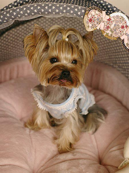 yorkshire terrier blond photos hairstyle gallery 25 best ideas about yorkshire terriers on pinterest
