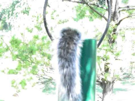 squirrel diving for nuts in bird feeder eats too much and