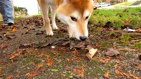 shiba inu puppies seattle sniff seattle walkers toby the shiba inu ballard seattle wa 98107