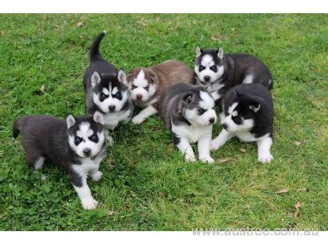 husky puppies for sale bay area pomeranian siberian husky puppies bay area siberian husky puppies breeds picture