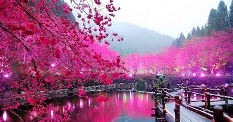 wallpaper cantik online gambar bunga sakura wallpaper bunga sakura cantik