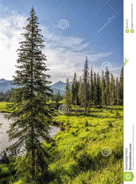 rocky mountain pine tree pine tree on bank of colorado river stock image