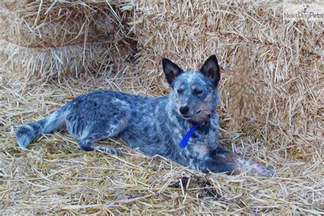 blue heeler puppy names meet junipers blue a australian cattle blue heeler puppy for sale for