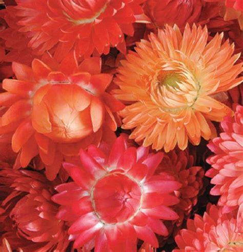 Produk Benih Bunga Dahlia Mixed Isi 50 Biji Produk Mr benih strawflower apricot mix 50 biji non retail