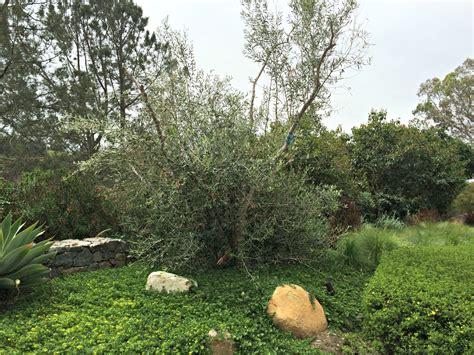olive tree planting in rancho santa fe