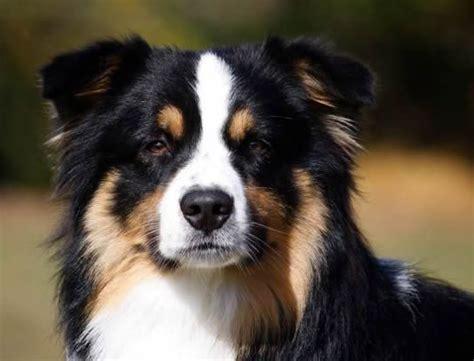 tri australian shepherd puppy 17 best ideas about black tri australian shepherd on mini aussie shepherd