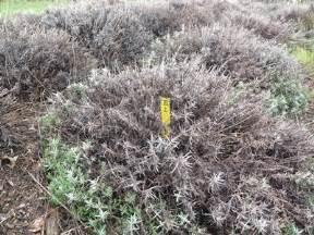 lavender plant diseases pictures prot 233 ger la lavande des dommages hivernaux