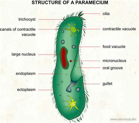 paramecium diagram paramecium nutrition tutorvista