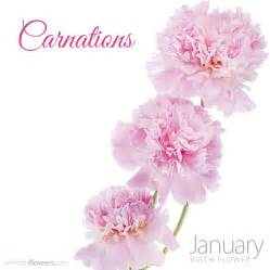 Carnations the january birth flower carnations pollennation