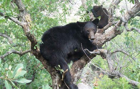 imagenes de osos navideños nutrici 243 n del oso negro ciencia uanl