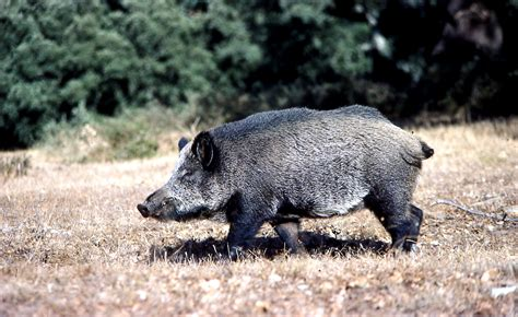 imagenes de animales jabali asaja las capturas de jabal crecen un 63 por ciento