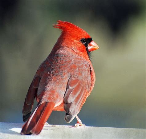 northern cardinal backyard indiana birds pinterest