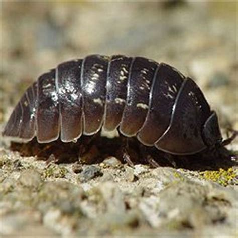 how to get rid of woodlice in my bathroom how to get rid of pill bugs since they are eating my