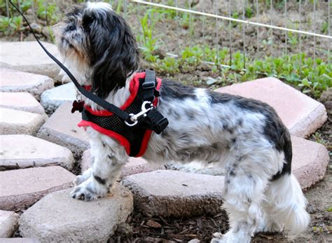 best pet clippers for shih tzu what is the best harness for shih tzu my top picks