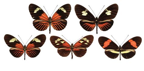 genetic paint box shuffled between butterfly species to create new wing patterns